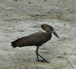 Closeup of hammerkop - crater