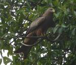 Yellow billed kite waiting for sandwitch - crater picnic area