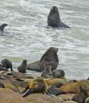 Beach Master Fur Seals - Cape ? Namibia