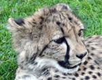 Cheetah Cub - Farm