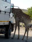 Giraffe in some other truck's cab