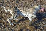 Cheetah grabs meat