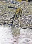 Giraffe Drinking - Etosha