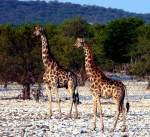 Giraffes - Etosha Waterhole