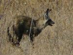 Bat Eared Fox - Etosha