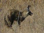 Bat Eared Fox - Etosha