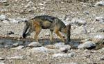 Black Backed Jackal - Drinking - Etosha