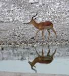 Impala and reflection - Etosha Waterhole