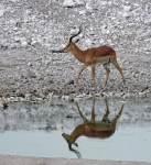 Impala and reflection - Etosha Waterhole