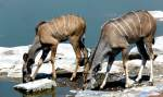 Female greater kudu and calf - Etosha, Namibia