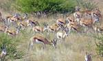 Springboks as watercolor 2 - Etosha