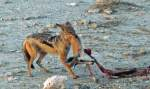 Jackal  hauls off springbok head - roadkill in  Etosha?