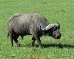 Large male cape buffalo - crater