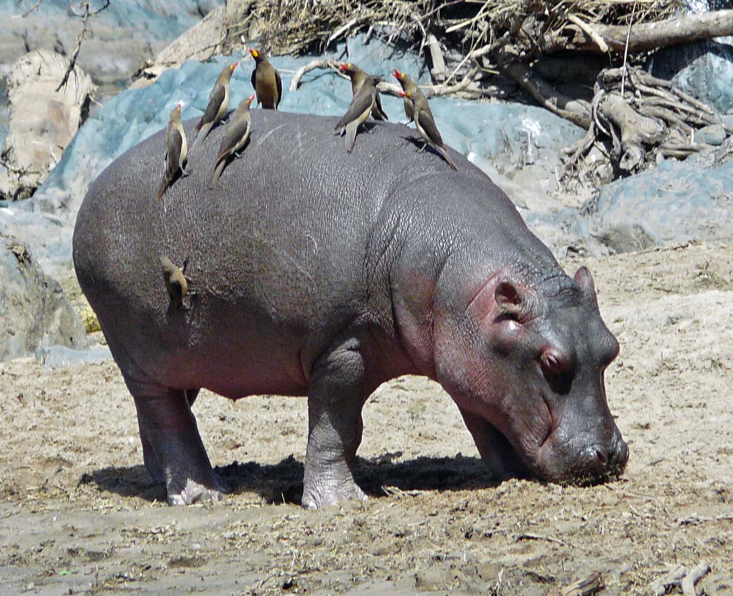 hippo and oxpecker symbiotic relationship
