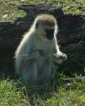 Vervet monkey eating grass   - Serengeti