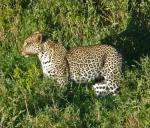 Leopard in full sun   - Serengeti