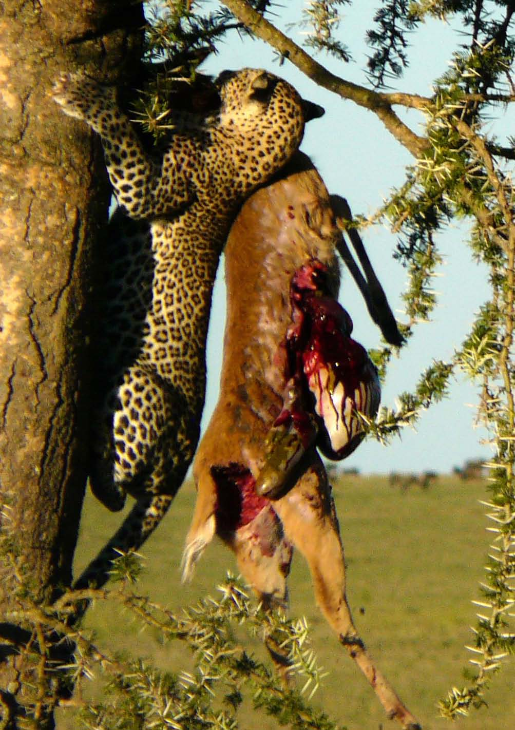 oregon hunting map with Leopard Hauls Reedbuk Up Acacia Tree Serengeti 2 on C groundDetails moreover First Dove Season Opener Approaches in addition Ten Criminals Caught On Google Camera Video in addition Best Hiking Gps 2015 also Fremont Lake.