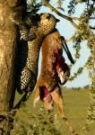 Leopard hauls reedbuk up acacia tree   - Serengeti