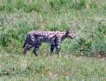 Serval - Serengeti