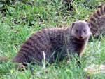 Banded mongoose at Seronera Lodge - Serengeti