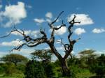 Dead tree  - Serengeti