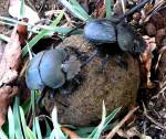 Mr and Mrs Dung Beetle - Victoria Falls Rhino  (poop) Walk