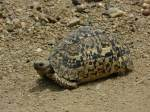 Unknown turtle   - Serengeti